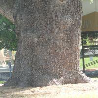 Huge trunk of redwood tree, Редвуд-Сити