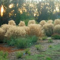 Silver Grass At The Turtle Bay Botanical Garden, Redding, California, Реддинг