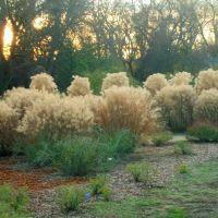 Silver Grass At The Turtle Bay Botanical Garden, Redding, California, Реддинг