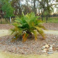 Chilean Wine Palm At The Turtle Bay Botanical Garden,  Redding, California, Реддинг
