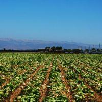 Fields Near Salinas, Салинас