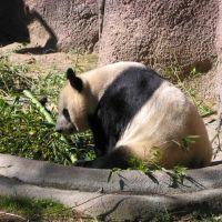 Panda, San Diego Zoo, San Diego, Сан-Диего
