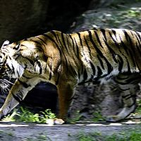 Con Cọp - Tiger in San Diego Zoo (hoangkhainhan.com), Сан-Диего