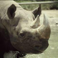 Rhino in San Diego Zoo, Сан-Диего
