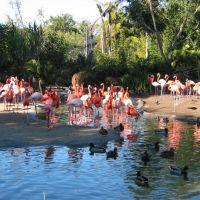 San Diego Zoo - Flamingos, San Diego, Сан-Диего