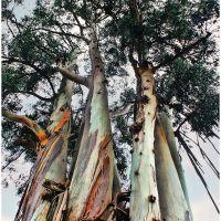 Eucalyptus Trees, Сан-Карлос
