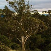 Big Eucalyptus, Сан-Луис-Обиспо