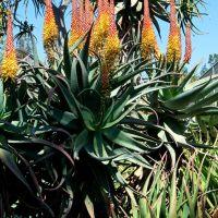 Aloe Flowers, The Huntington 2013, Сан-Марино