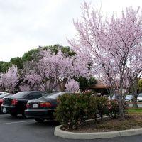 Cherry bloom, Саннивейл