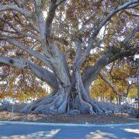 Santa Barbara, Morton Fig tree 2, Санта-Барбара