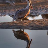 Pelican, Santa Barbara, Санта-Барбара
