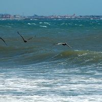 pelicans, Санта-Барбара
