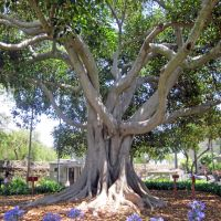 Fig Tree, Santa Barbara Mission cemetery, Санта-Барбара