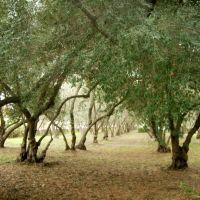 Olive Grove at the Carmelite Monastery, Санта-Клара