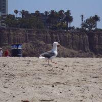 Seagull in Santa Monica beach - ASIER IBAÑEZ, Санта-Моника