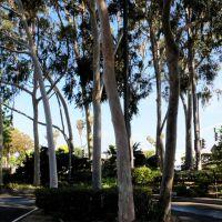 eucalyptus trees, Санта-Фе-Спрингс