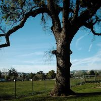 Oak Tree, Сими
