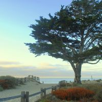 Monterey Cypress, Сисайд