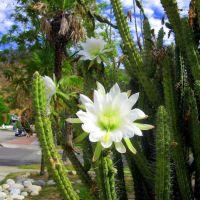 CACTUS AND FLOWERS, Сьерра-Мадре