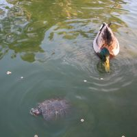 duck and turtle at wilson park, Торранц