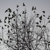 Wild Parrots of Fullerton, Фуллертон