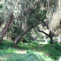 Hiltshire Park trees, Фуллертон