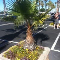 Mini Palm, Чула-Виста