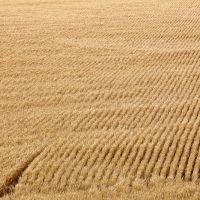 Wheatfield, Нортон