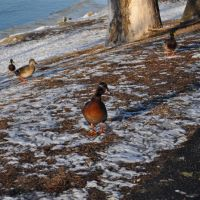 unknown duck and mallards at Lewis and Clark State Park, MO, Овербрук
