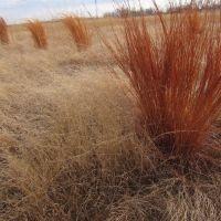 Switch grass winter 2014 Kansas, Парк-Сити