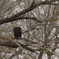 My first Bald Eagle of the Season at Twin Lakes, Парк-Сити