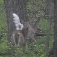 Two deer in woods across from South Point campground April 2008, Перри