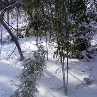 Native canebrake, not planted, Стратмур-Гарденс