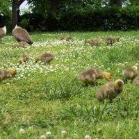 Nashville- Tenn- Canadian Geese in Centennial Park, Трентон