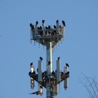 Birds roosting on cell phone tower in Fort Hill Park, Франкфорт