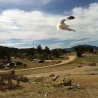 Seagulls at Eleven Mile Res., Грин-Маунтайн-Фоллс