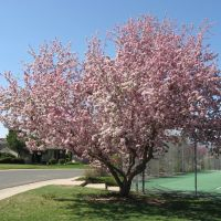 Crabapple in Spring, Литтлетон