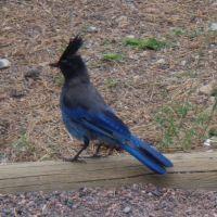 Blue bird in Colorado - Stellers Jay - Bóbitás szajkó