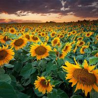 Sunset Sunflower Field in Longmont, Colorado, Нанн
