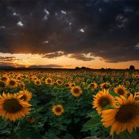Sunflower Field - Longmont, Colorado, Нанн