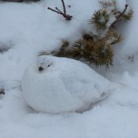 Ptarmigan in winter plumage, Longs Peak, Rocky Mountain National Park, Colorado, Нанн
