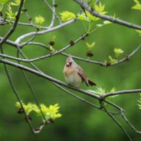 Northern Cardinal - Female, Вестпорт