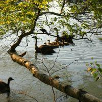 Goslings on Highland Pond - May 14 2010, Норвич