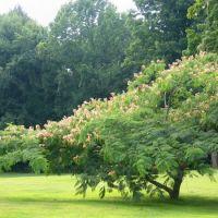 Silk Tree, Нью-Бритайн