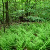 Fern forest on the Mattabesett Trail E of Lamentation Mtn. - May 23 2010, Нью-Бритайн