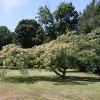 Silk Tree, Трамбалл