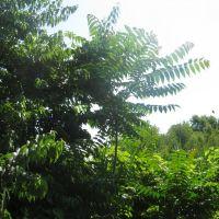 ailanthus by marsh, Файрфилд