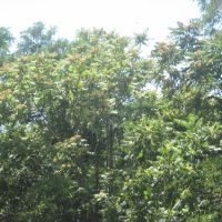 ailanthus blooming, Файрфилд