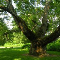Largest Tree in CT, Фармингтон