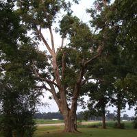 Pecan Tree in Yard, Aug 2007, Джексон
